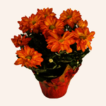"""Potted Pelee Mums 6"""""""