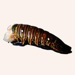 Frozen Raw Rock Lobster Tail, 8-9oz