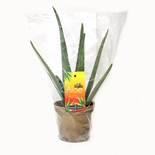 Organic Potted Aloe Plant